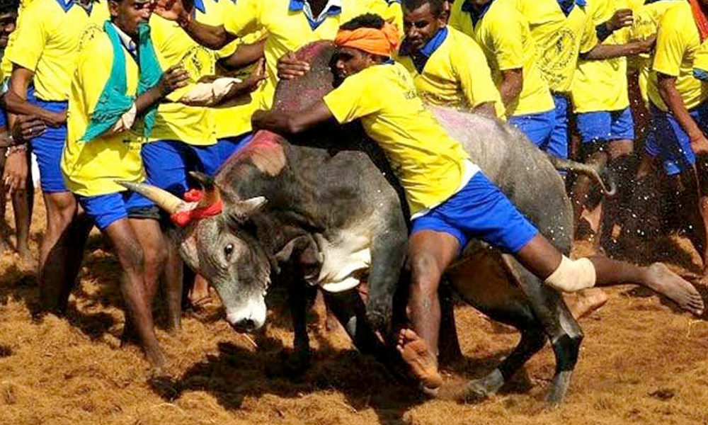 23rd Jan.2017: Bill to replace ordinance promulgated to resume Jallikattu expected to be passed in session